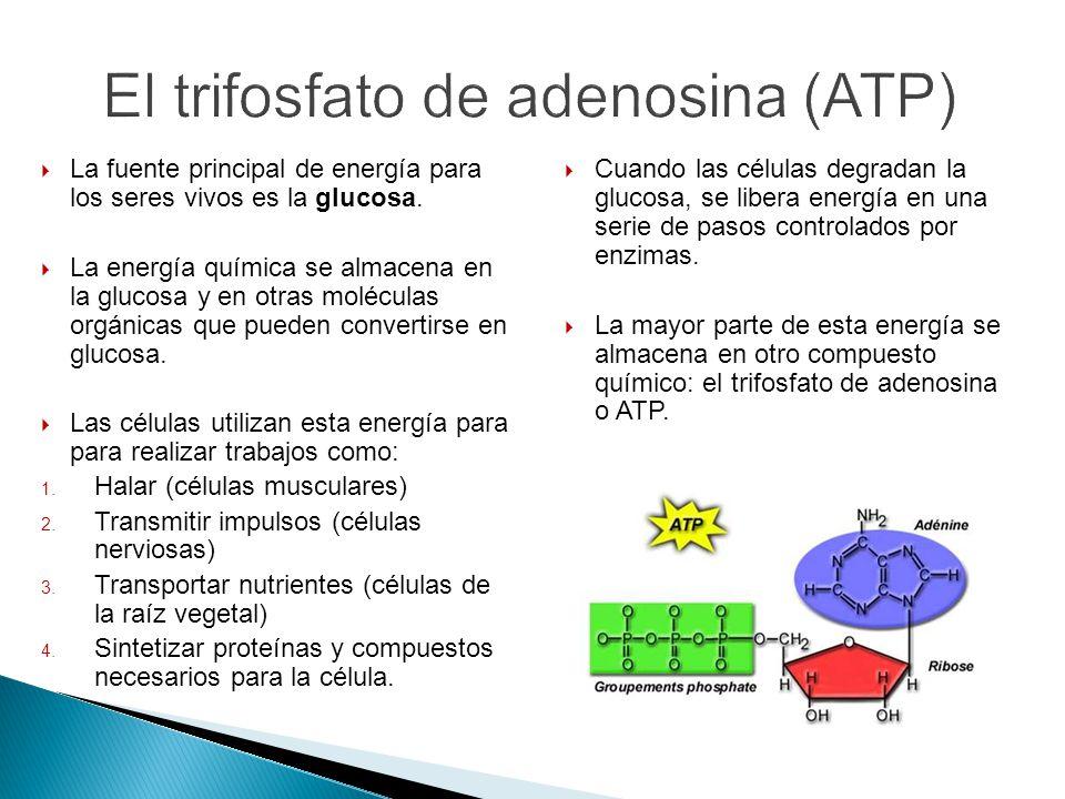 El trifosfato de adenosina (ATP)