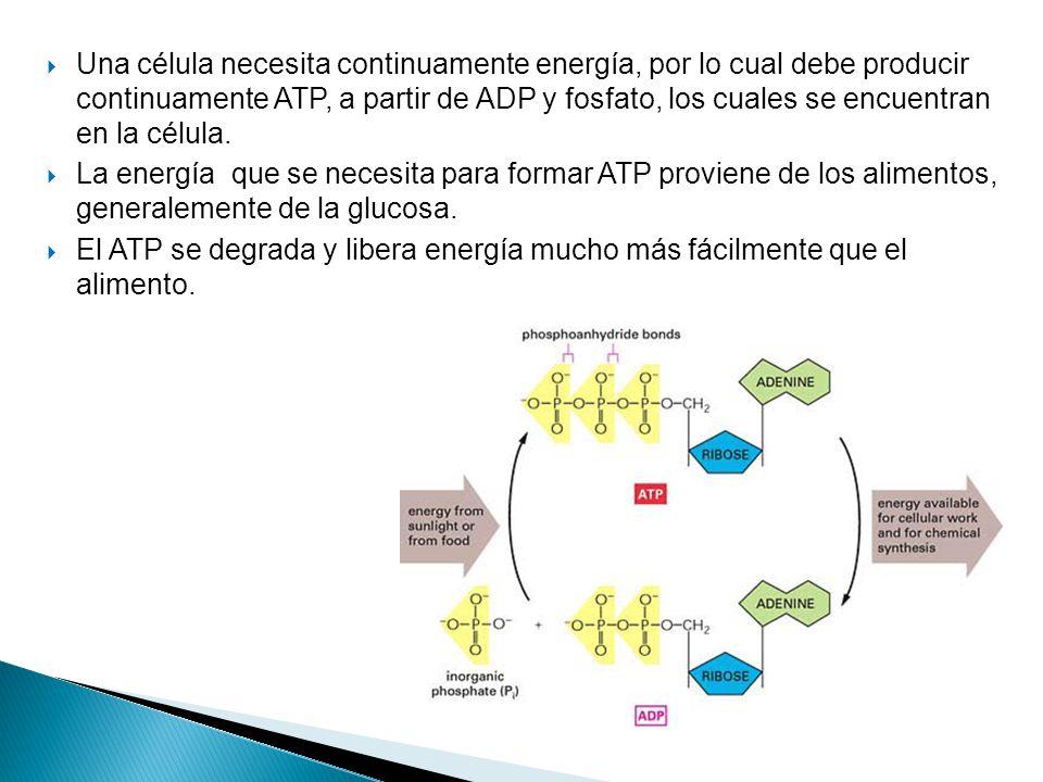 Una célula necesita continuamente energía, por lo cual debe producir continuamente ATP, a partir de ADP y fosfato, los cuales se encuentran en la célula.