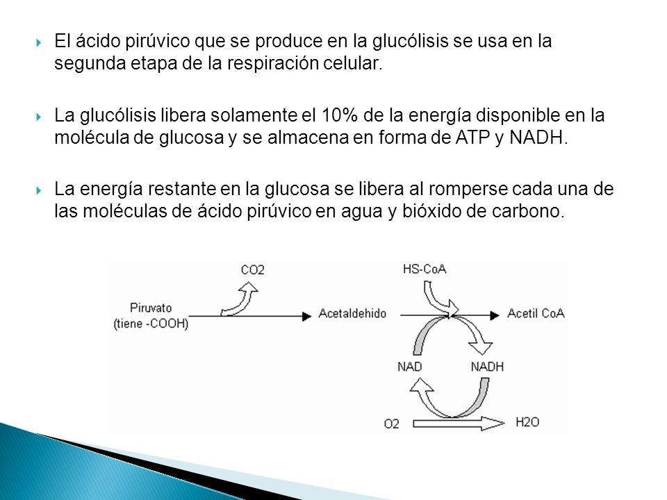 El ácido pirúvico que se produce en la glucólisis se usa en la segunda etapa de la respiración celular.