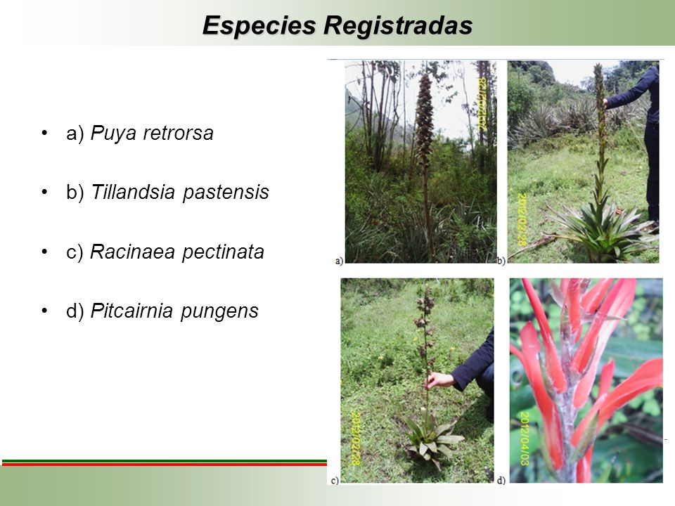 Especies Registradas a) Puya retrorsa b) Tillandsia pastensis