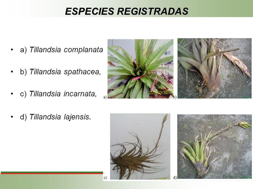 ESPECIES REGISTRADAS a) Tillandsia complanata b) Tillandsia spathacea,