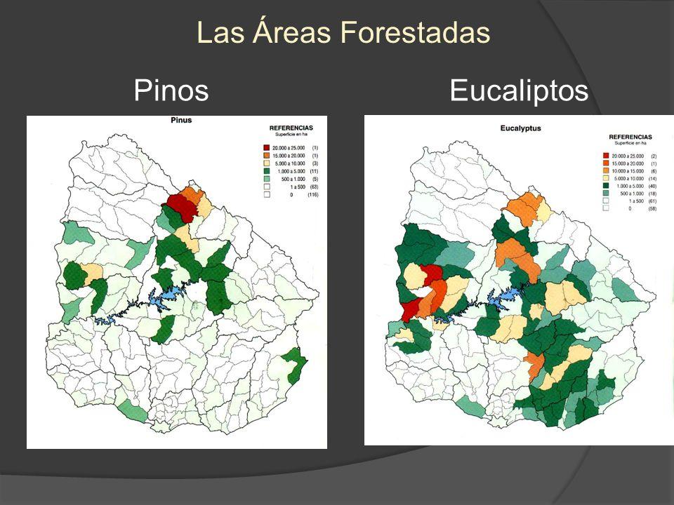 Las Áreas Forestadas Pinos Eucaliptos