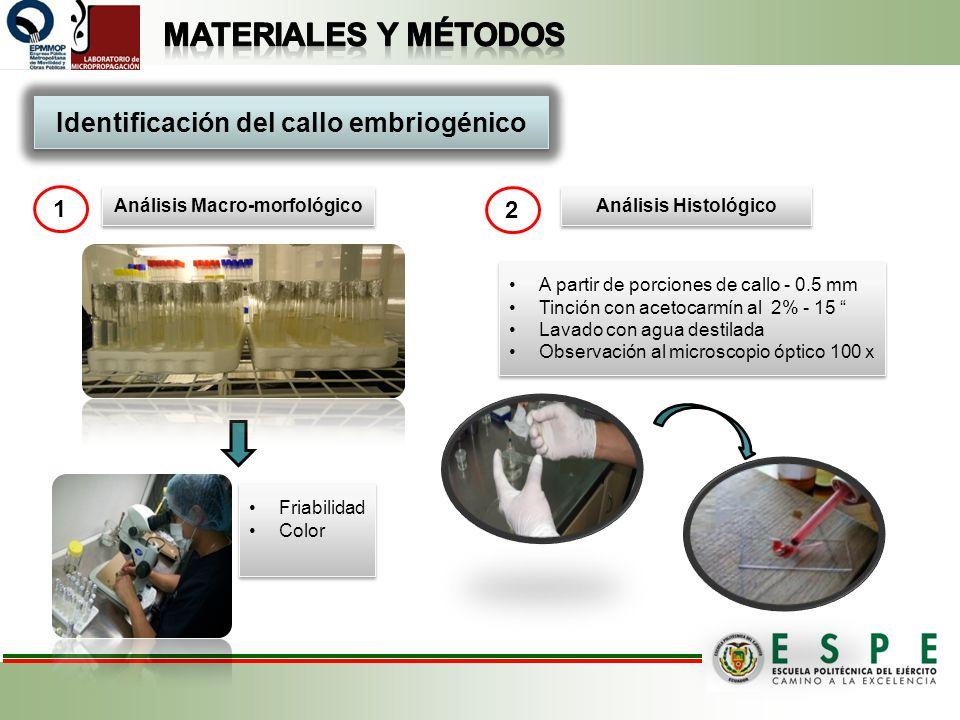 Identificación del callo embriogénico Análisis Macro-morfológico
