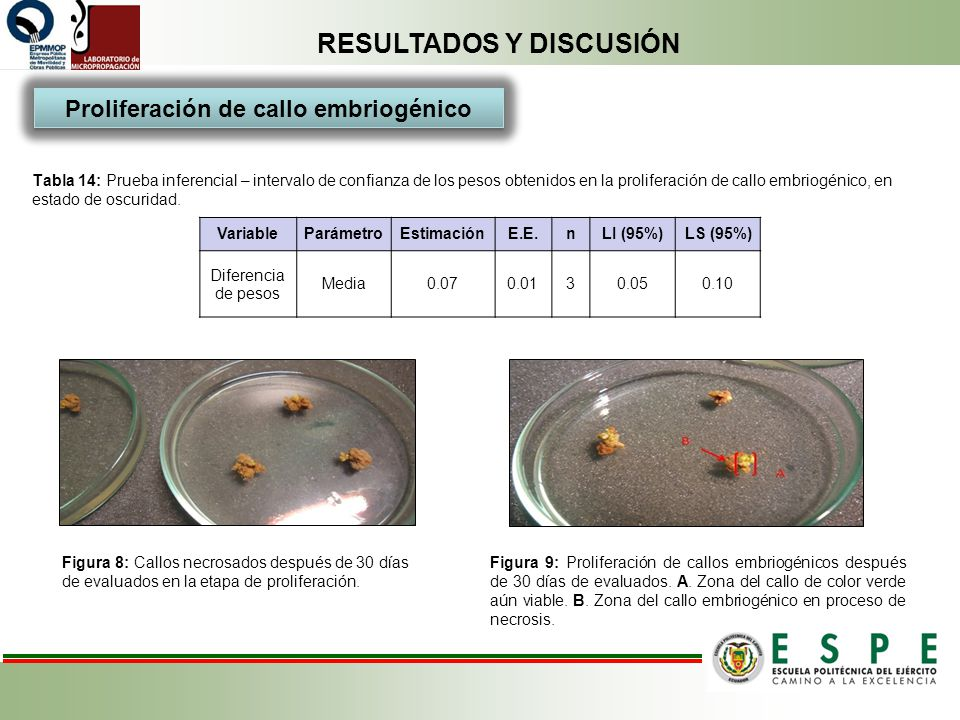 Proliferación de callo embriogénico