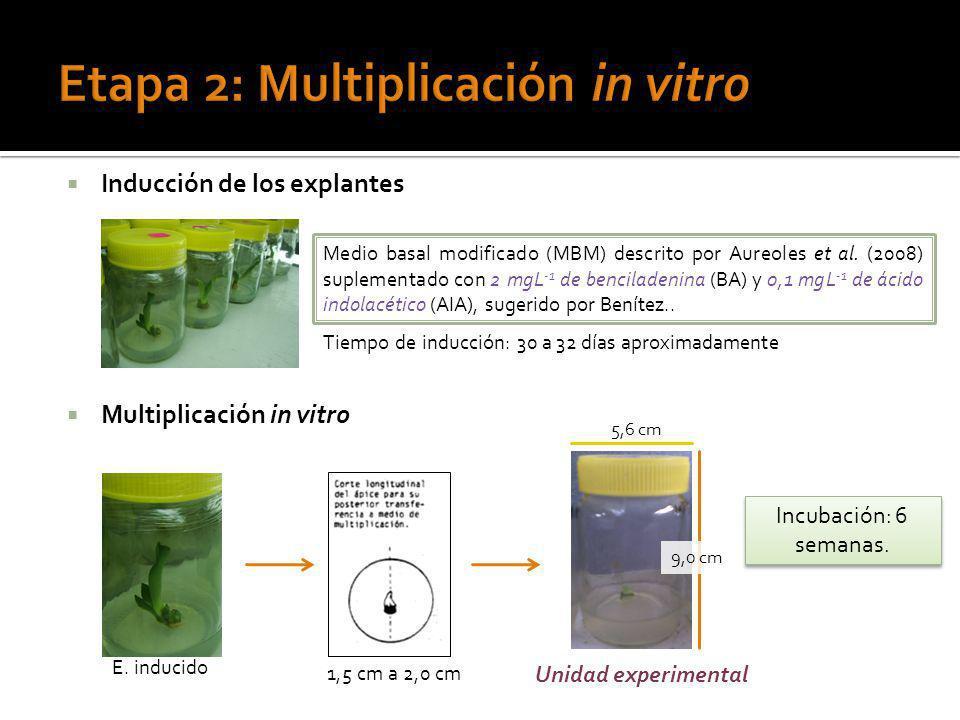 Etapa 2: Multiplicación in vitro