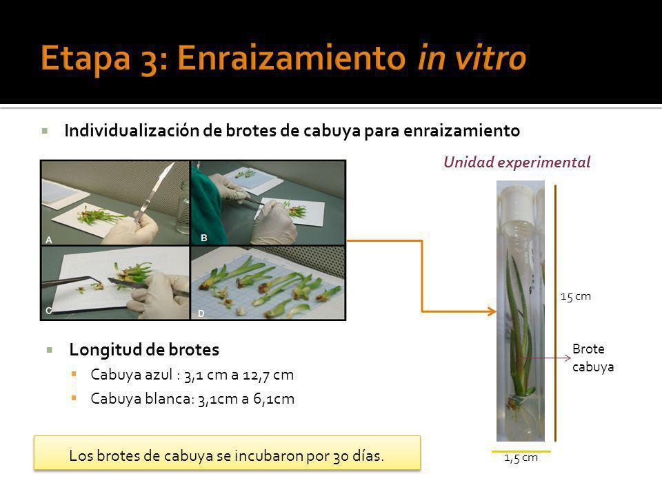 Etapa 3: Enraizamiento in vitro