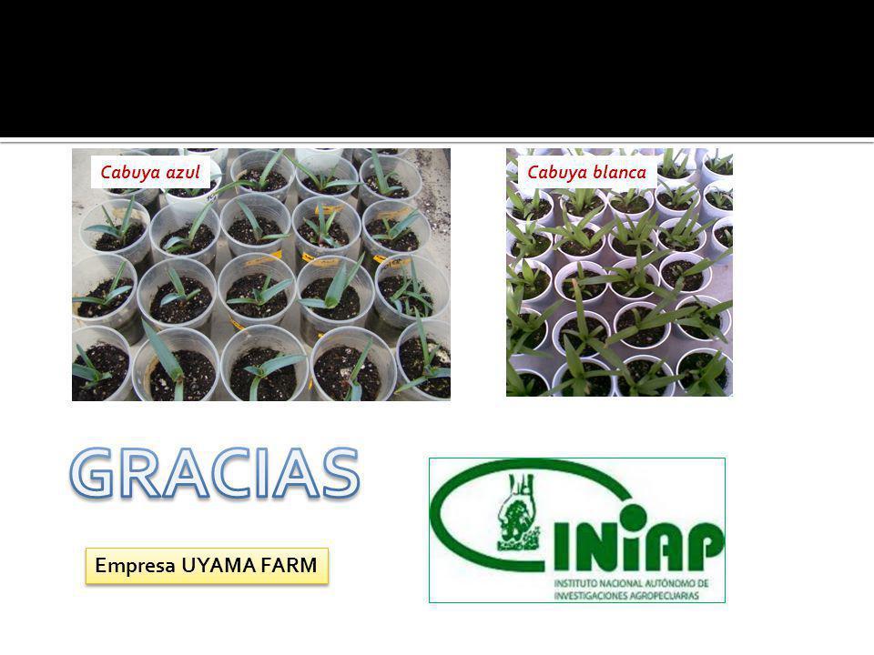 Cabuya azul Cabuya blanca GRACIAS Empresa UYAMA FARM