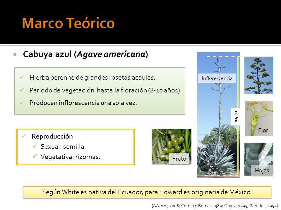 Marco Teórico Cabuya azul (Agave americana)