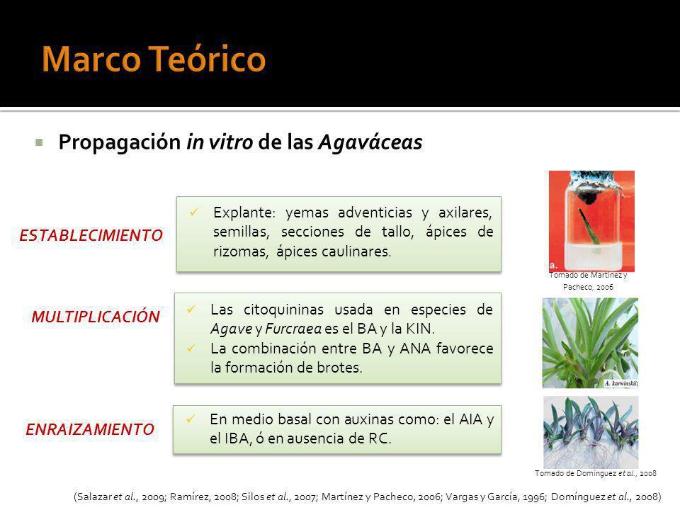 Marco Teórico Propagación in vitro de las Agaváceas ESTABLECIMIENTO