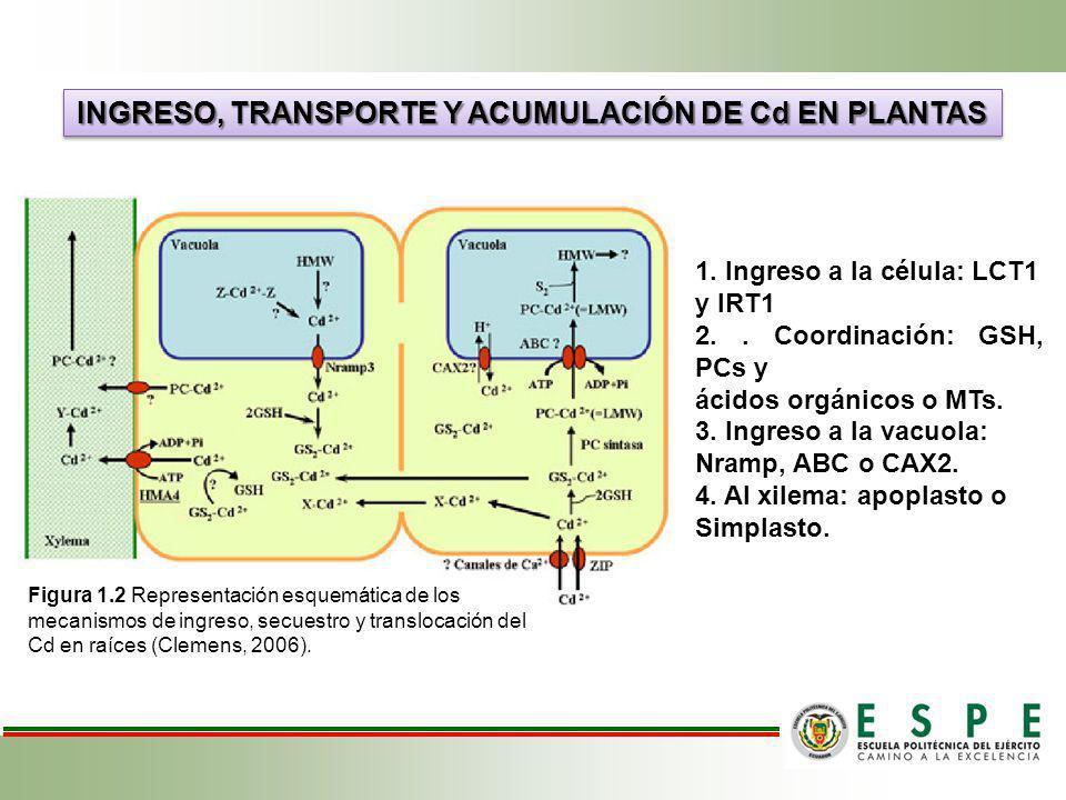 INGRESO, TRANSPORTE Y ACUMULACIÓN DE Cd EN PLANTAS