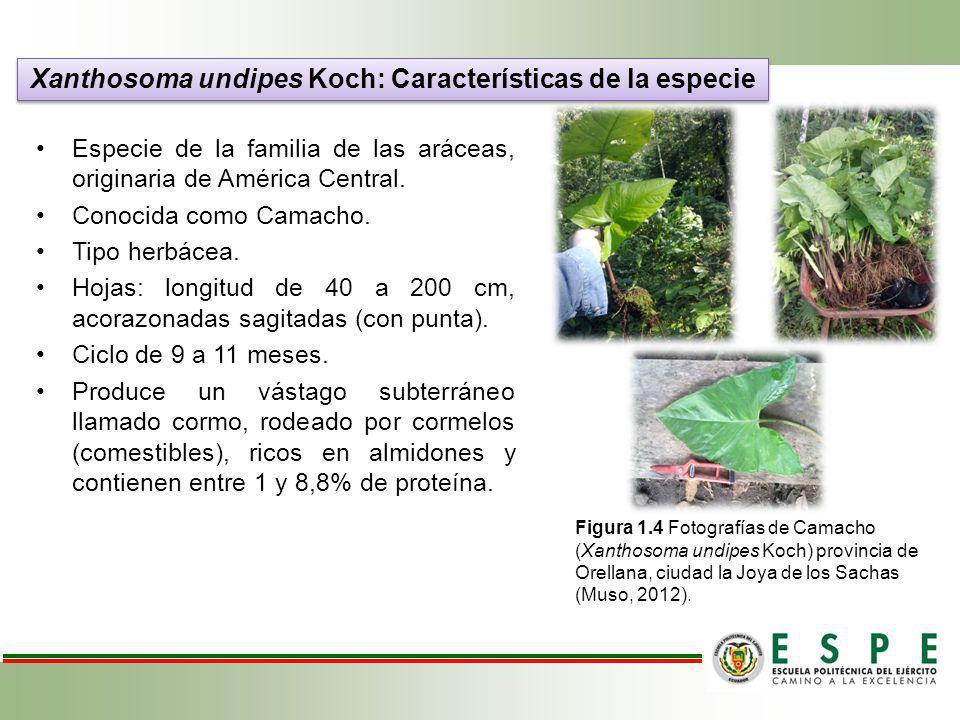 Xanthosoma undipes Koch: Características de la especie