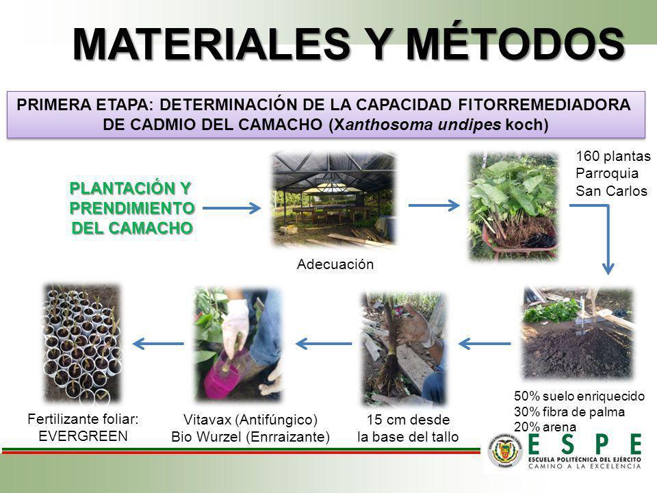 MATERIALES Y MÉTODOS PRIMERA ETAPA: DETERMINACIÓN DE LA CAPACIDAD FITORREMEDIADORA. DE CADMIO DEL CAMACHO (Xanthosoma undipes koch)