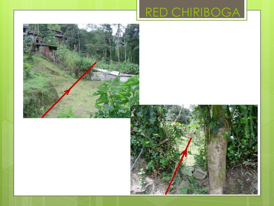 RED CHIRIBOGA
