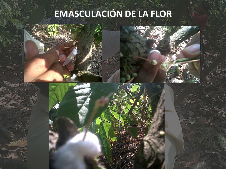 EMASCULACIÓN DE LA FLOR