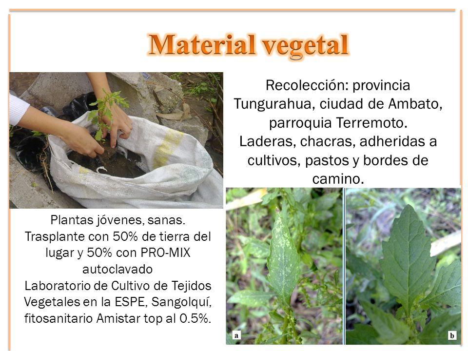 Material vegetal Recolección: provincia Tungurahua, ciudad de Ambato, parroquia Terremoto.