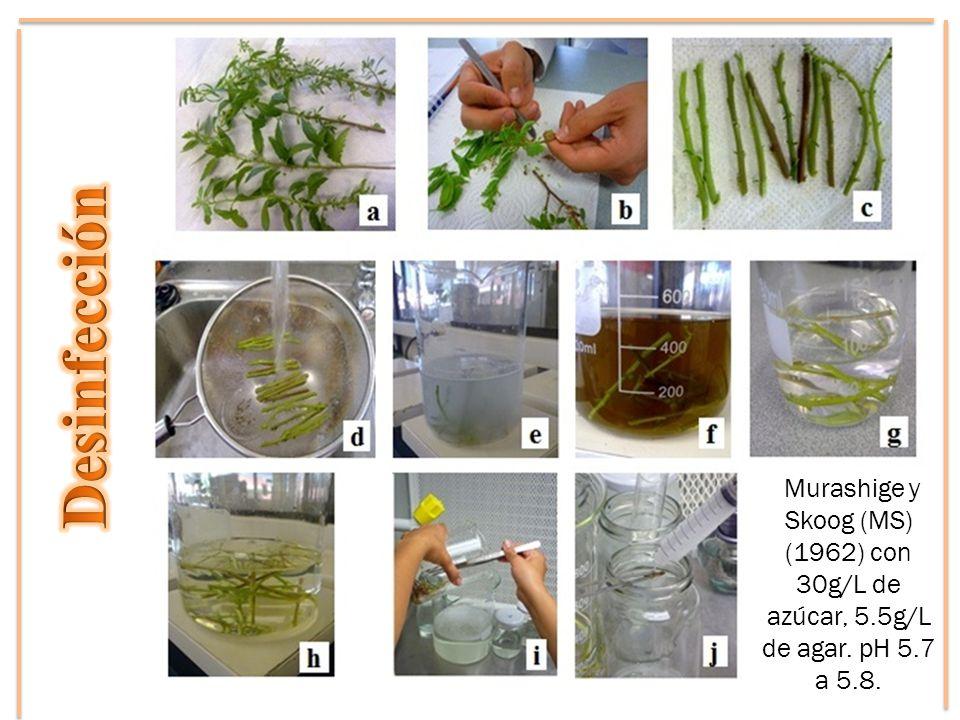 Desinfección Murashige y Skoog (MS) (1962) con 30g/L de azúcar, 5.5g/L de agar. pH 5.7 a 5.8.