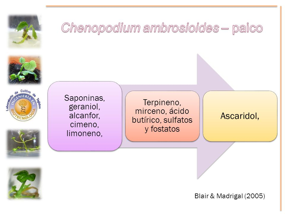 Chenopodium ambrosioides – paico