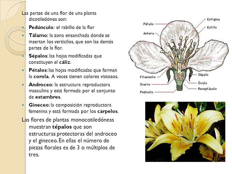 Las partes de una flor de una planta dicotiledónea son: