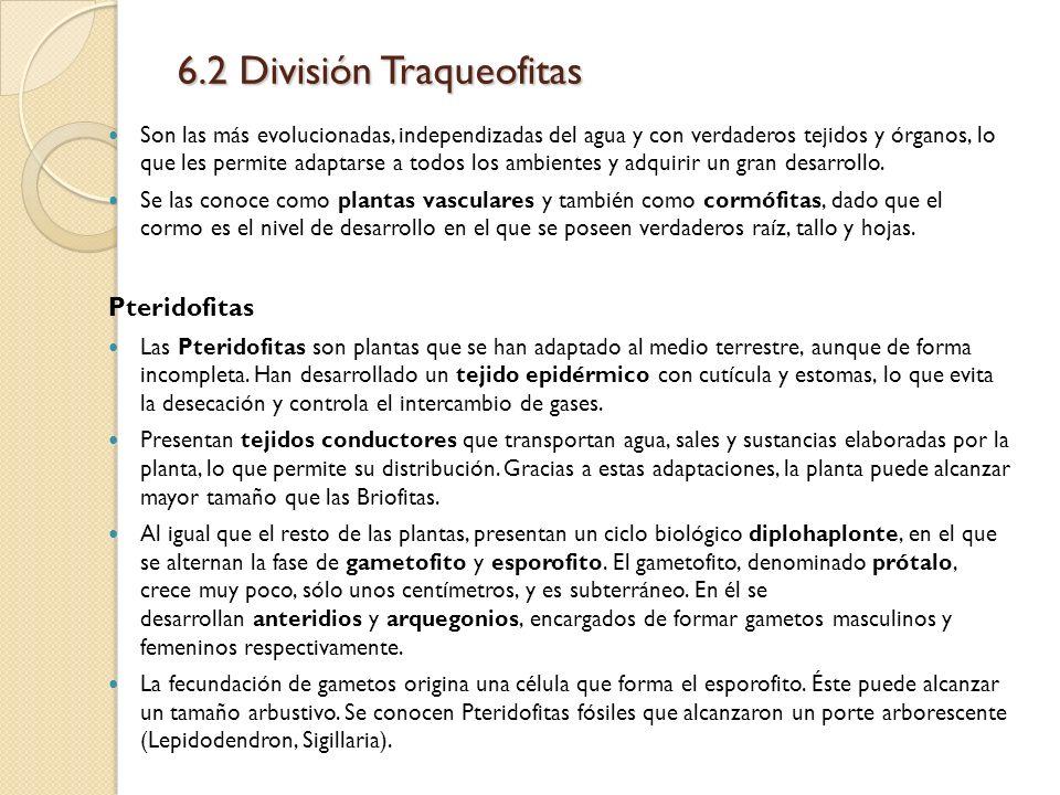 6.2 División Traqueofitas