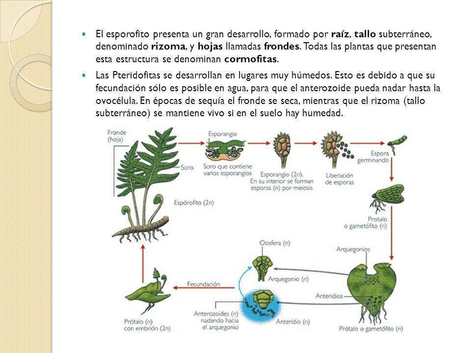 El esporofito presenta un gran desarrollo, formado por raíz, tallo subterráneo, denominado rizoma, y hojas llamadas frondes. Todas las plantas que presentan esta estructura se denominan cormofitas.