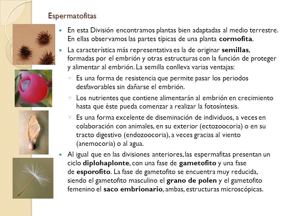 Espermatofitas