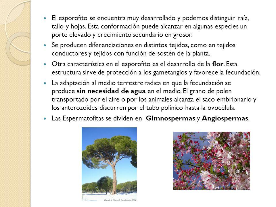 El esporofito se encuentra muy desarrollado y podemos distinguir raíz, tallo y hojas. Esta conformación puede alcanzar en algunas especies un porte elevado y crecimiento secundario en grosor.