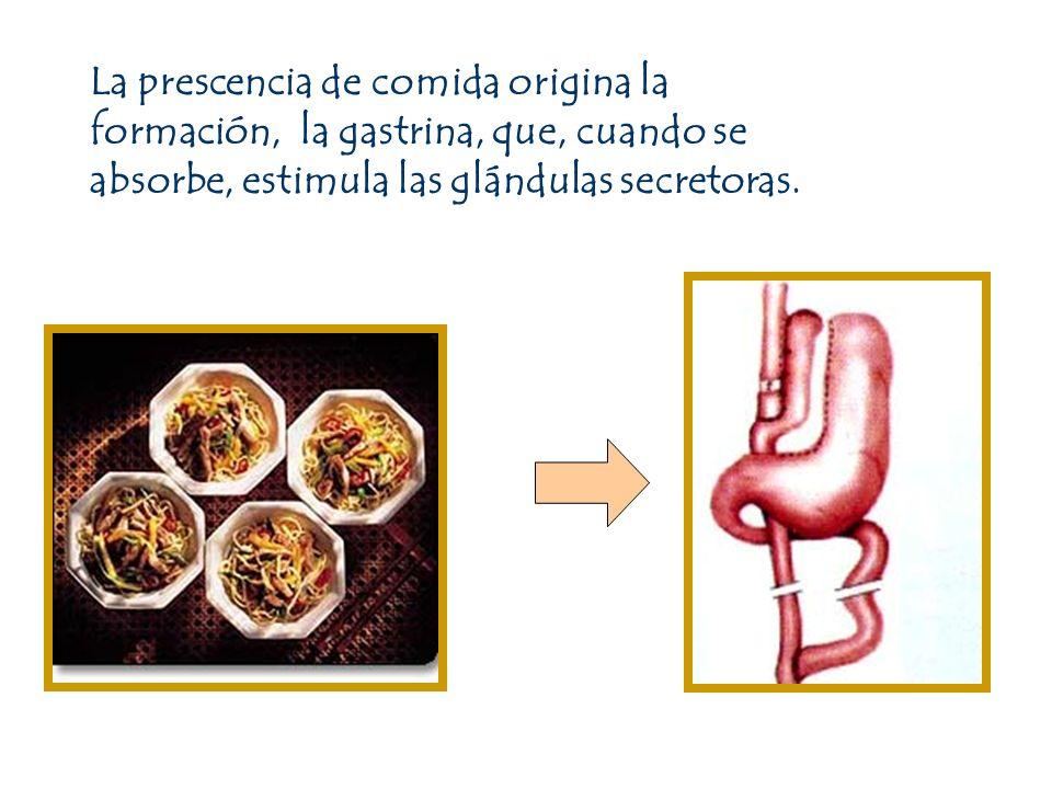 La prescencia de comida origina la formación, la gastrina, que, cuando se absorbe, estimula las glándulas secretoras.