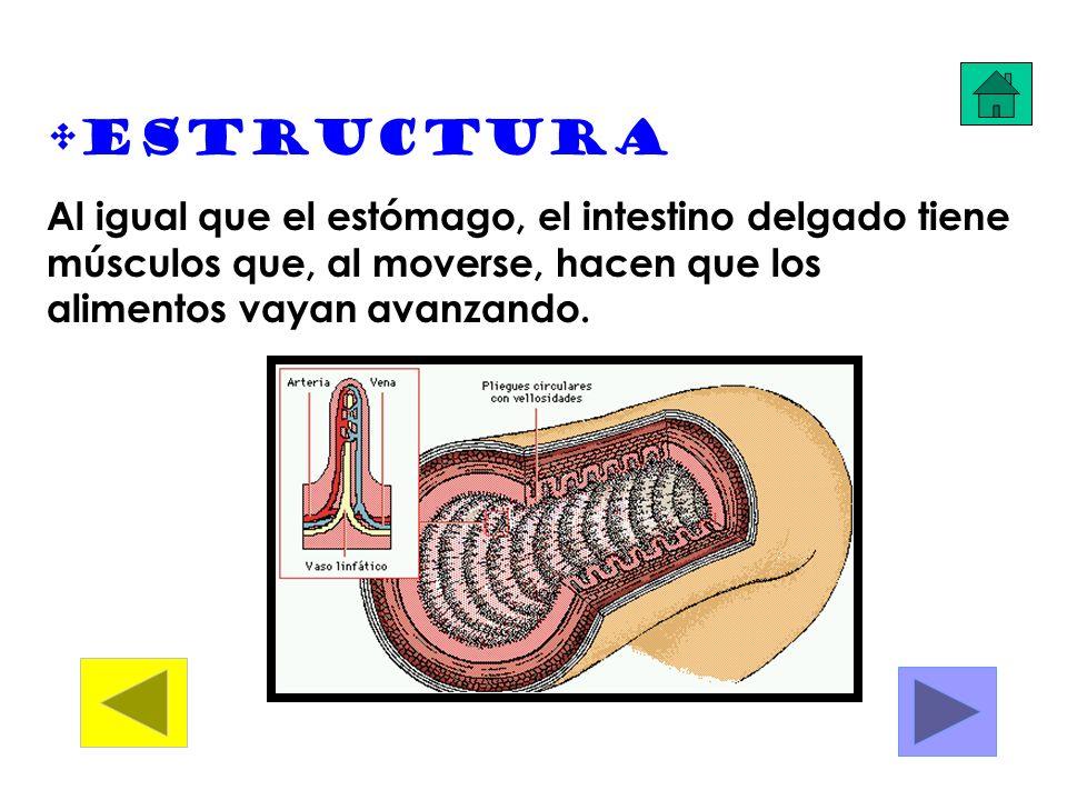 Estructura Al igual que el estómago, el intestino delgado tiene músculos que, al moverse, hacen que los alimentos vayan avanzando.