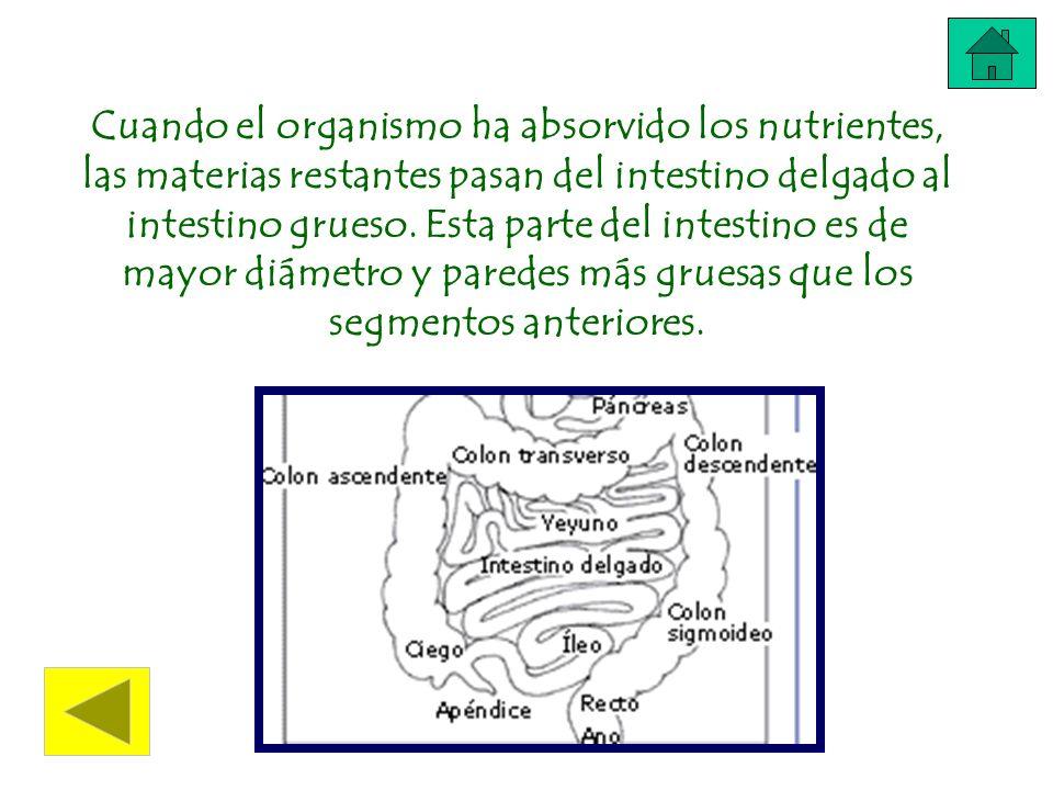 Cuando el organismo ha absorvido los nutrientes, las materias restantes pasan del intestino delgado al intestino grueso.