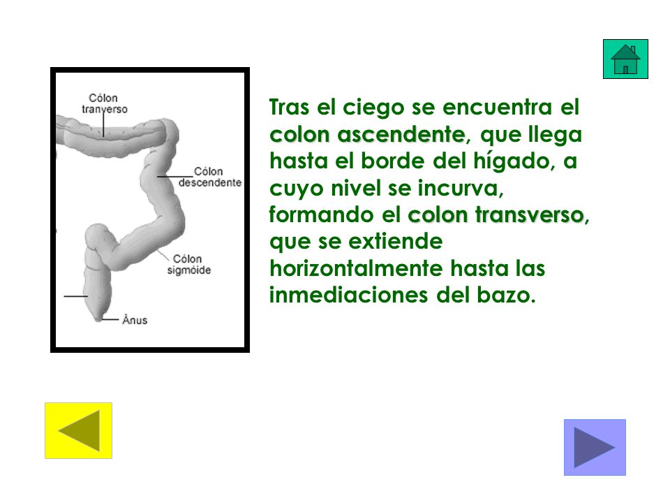 Tras el ciego se encuentra el colon ascendente, que llega hasta el borde del hígado, a cuyo nivel se incurva, formando el colon transverso, que se extiende horizontalmente hasta las inmediaciones del bazo.