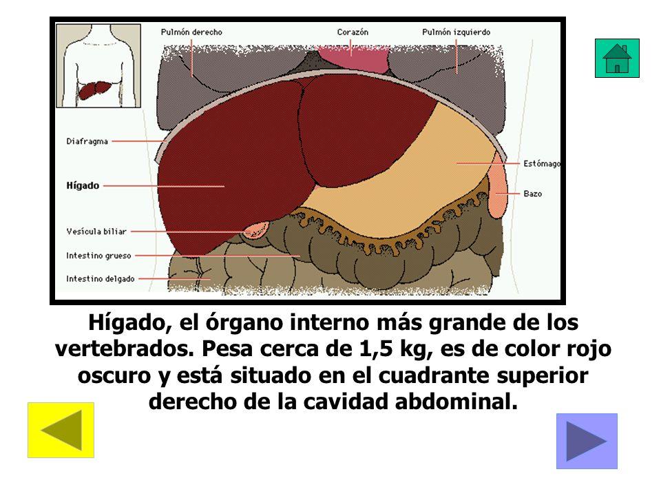 Hígado, el órgano interno más grande de los vertebrados
