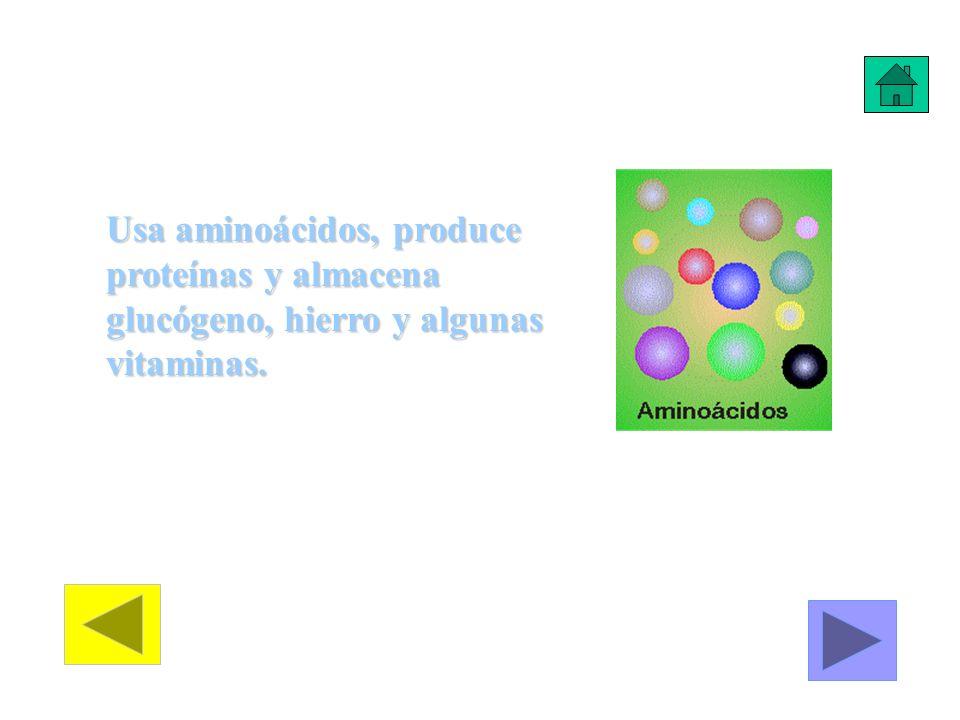 Usa aminoácidos, produce proteínas y almacena glucógeno, hierro y algunas vitaminas.