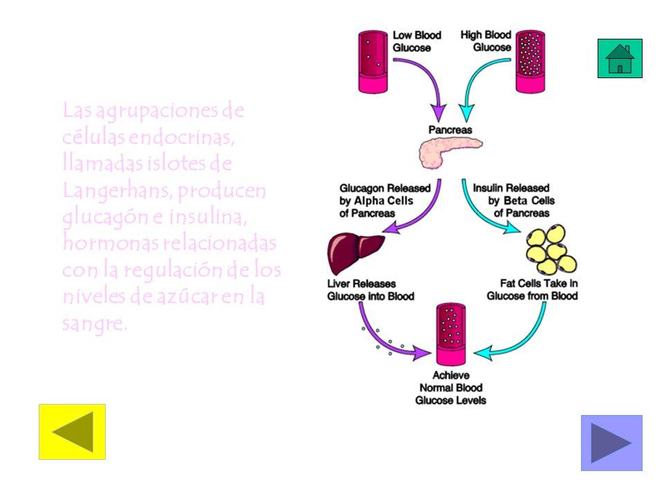 Las agrupaciones de células endocrinas, llamadas islotes de Langerhans, producen glucagón e insulina, hormonas relacionadas con la regulación de los niveles de azúcar en la sangre.