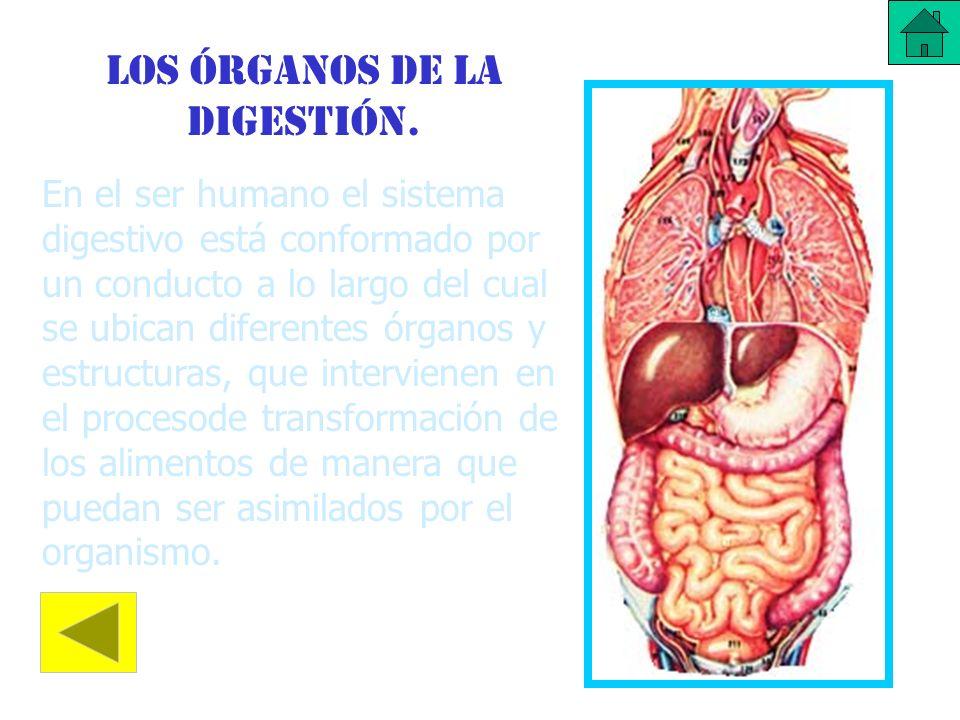 Los órganos de la digestión.