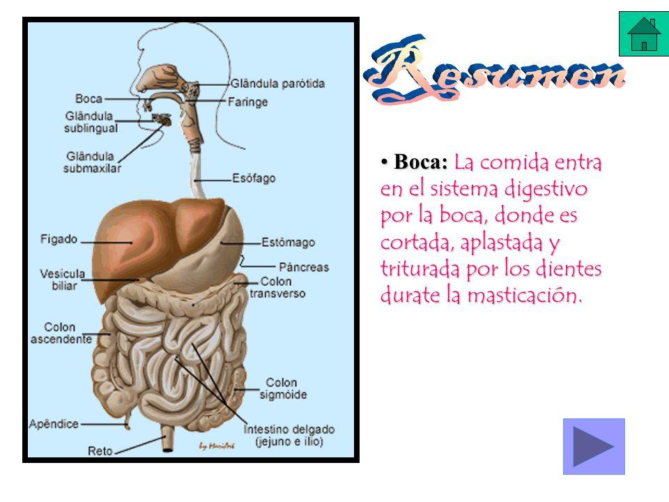 Resumen Boca: La comida entra en el sistema digestivo por la boca, donde es cortada, aplastada y triturada por los dientes durate la masticación.