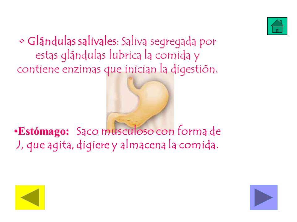Glándulas salivales: Saliva segregada por estas glándulas lubrica la comida y contiene enzimas que inician la digestión.