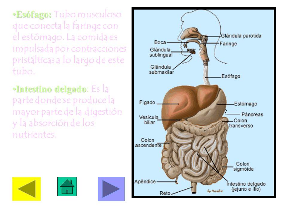 Esófago: Tubo musculoso que conecta la faringe con el estómago