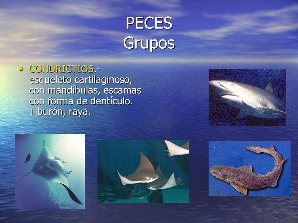 PECES Grupos CONDRICTIOS.- esqueleto cartilaginoso, con mandíbulas, escamas con forma de dentículo.