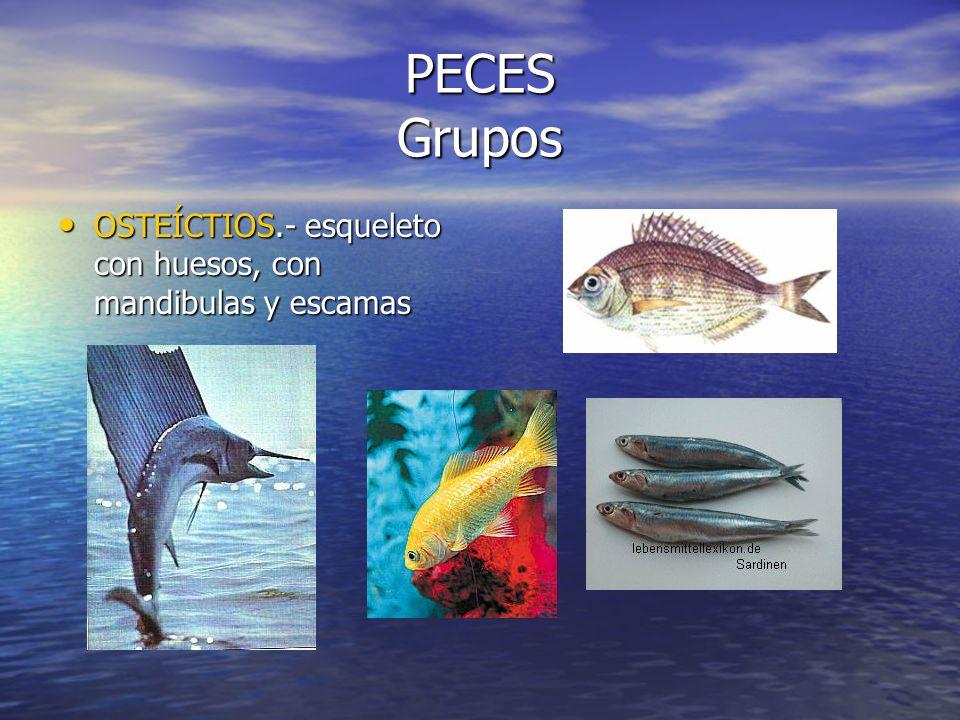 PECES Grupos OSTEÍCTIOS.- esqueleto con huesos, con mandibulas y escamas