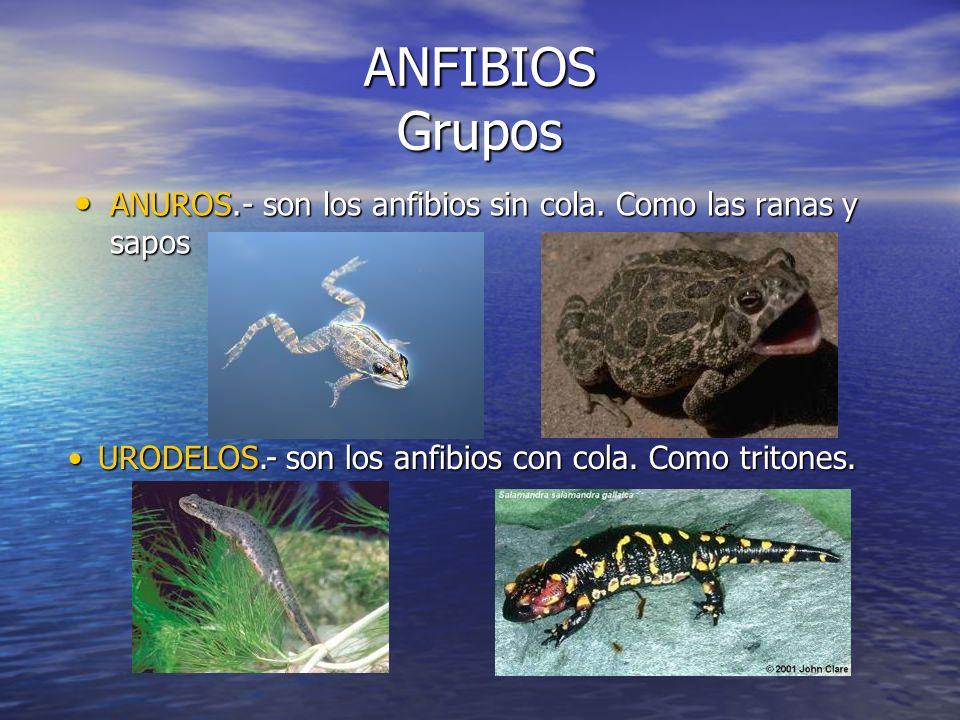 ANFIBIOS Grupos ANUROS.- son los anfibios sin cola.