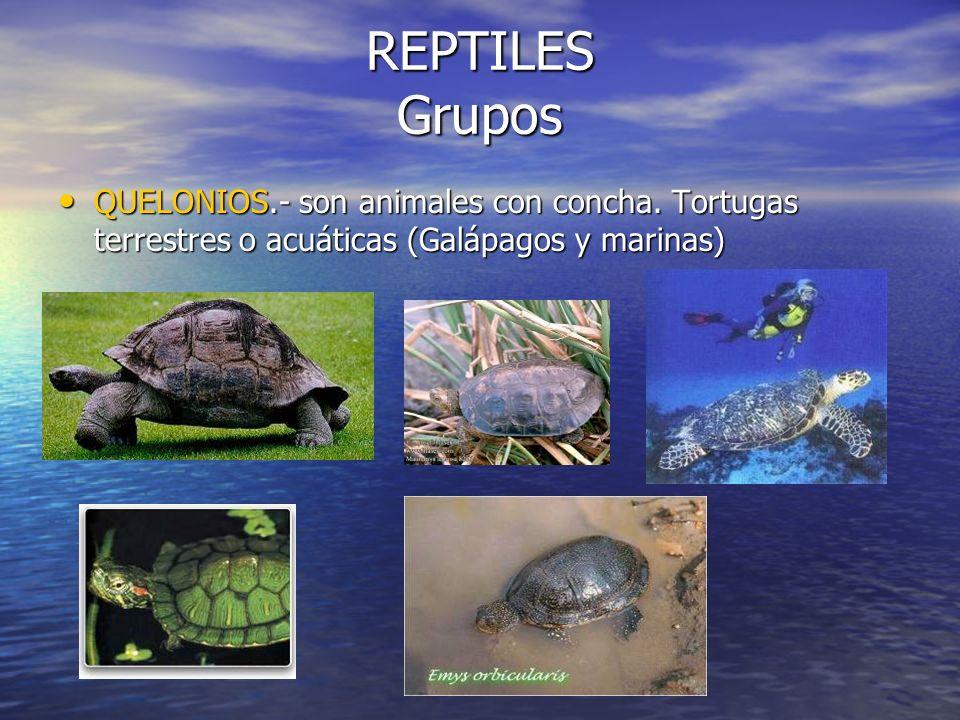 REPTILES Grupos QUELONIOS.- son animales con concha.