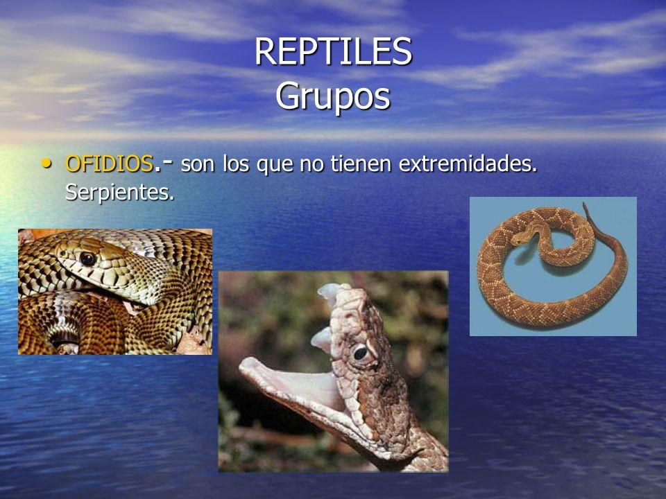 REPTILES Grupos OFIDIOS.- son los que no tienen extremidades. Serpientes.