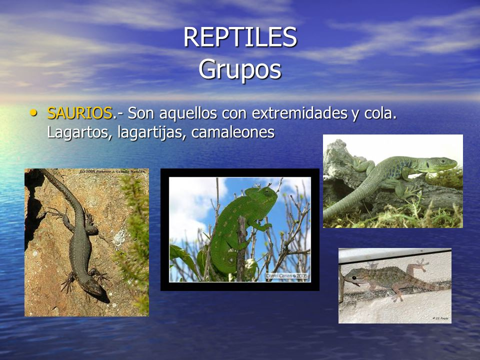 REPTILES Grupos SAURIOS.- Son aquellos con extremidades y cola. Lagartos, lagartijas, camaleones