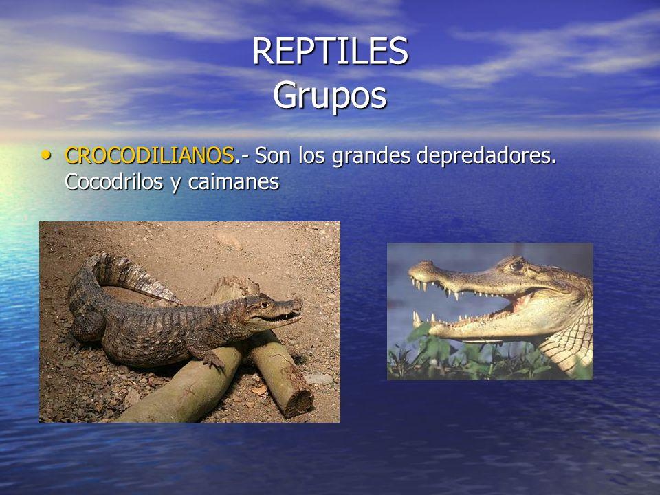 REPTILES Grupos CROCODILIANOS.- Son los grandes depredadores. Cocodrilos y caimanes
