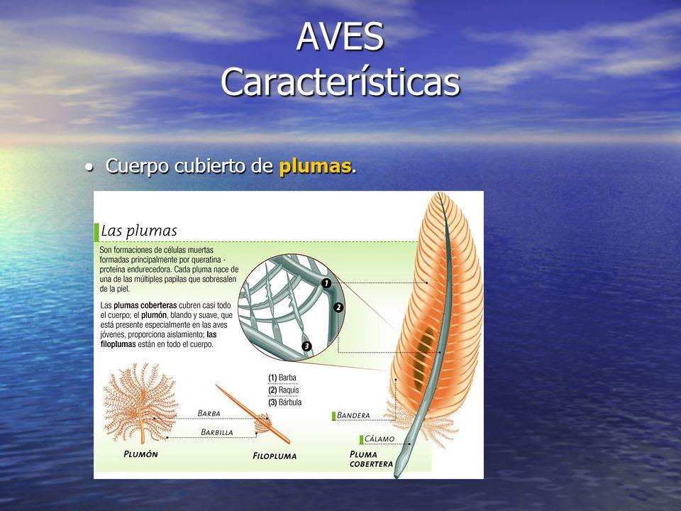 AVES Características Cuerpo cubierto de plumas.