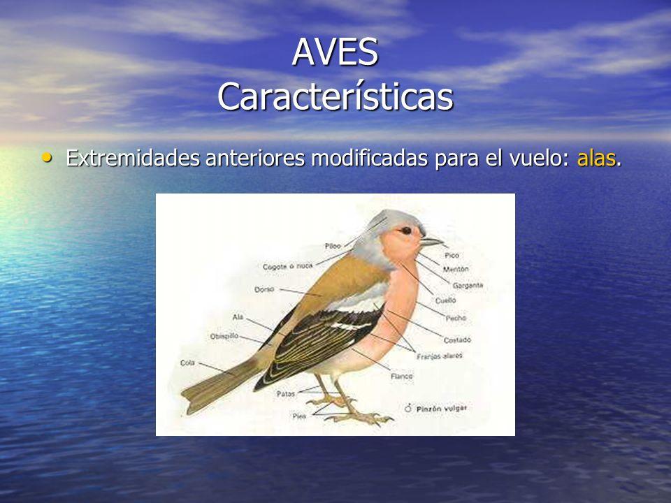 AVES Características Extremidades anteriores modificadas para el vuelo: alas.