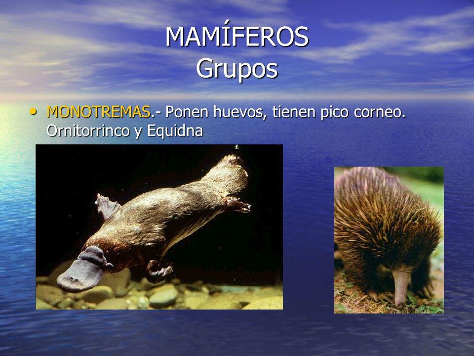 MAMÍFEROS Grupos MONOTREMAS.- Ponen huevos, tienen pico corneo. Ornitorrinco y Equidna