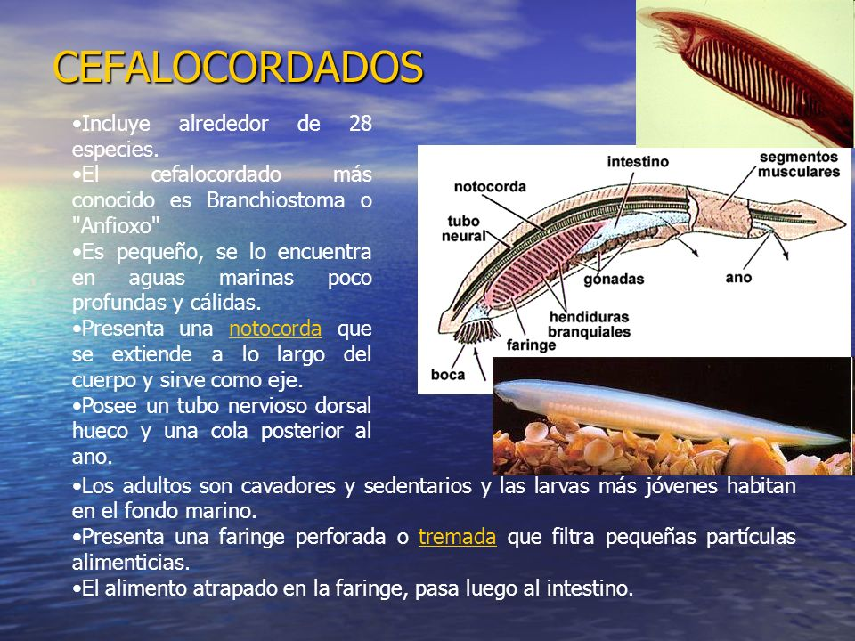 CEFALOCORDADOS Incluye alrededor de 28 especies.