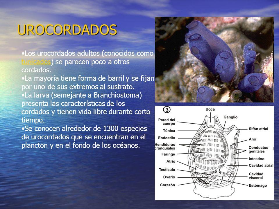 UROCORDADOSLos urocordados adultos (conocidos como tunicados) se parecen poco a otros cordados.