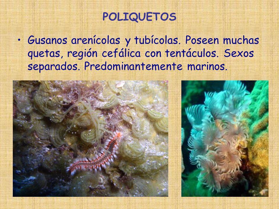 POLIQUETOS Gusanos arenícolas y tubícolas. Poseen muchas quetas, región cefálica con tentáculos.